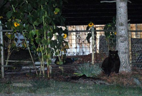 Bear at Night
